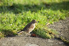 A linnet. Royalty Free Stock Images
