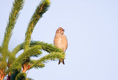 Linnet Royalty Free Stock Photo