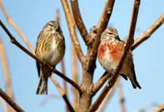 Linnet. Two linnets on a tree branch stock photo