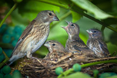 Linnet, Acanthis cannabina, Carduelis Stock Photos