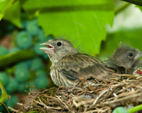 Linnet, Acanthis cannabina, Carduelis Stock Images