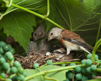 Linnet, Acanthis cannabina, Carduelis Royalty Free Stock Photos