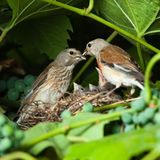 Linnet, Acanthis cannabina, Carduelis Stock Photography