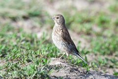 Linnet (Acanthis cannabina) Royalty Free Stock Photo