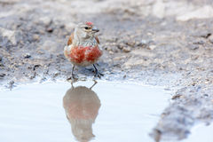 Linnet (Acanthis cannabina) Royalty Free Stock Photography