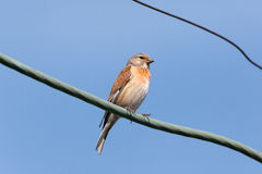 Linnet (Acanthis cannabina) Royalty Free Stock Photos