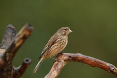 A linnet bird. Stock Image