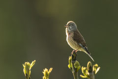 Linnet bird, Carduelis cannabina singing Stock Photo