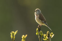 Linnet bird, Carduelis cannabina singing Stock Images