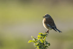 Linnet bird, Carduelis cannabina singing Royalty Free Stock Image