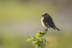 Linnet bird, Carduelis cannabina singing Stock Photos