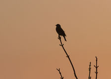 Linnet bird perched on high twig at dawn. Stock Images