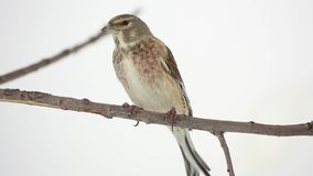 Linnet on branch stock video footage