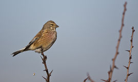 Linnet on a Bush (Carduelis cannabina). A linnet is looking around on a bush royalty free stock images