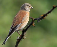 Linnet (cannabina di Acanthis) immagine stock