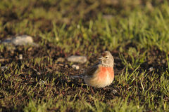 Linnet, Carduelis cannabina Stock Photos