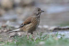 Linnet, Carduelis cannabina, Royalty Free Stock Photography
