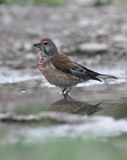 Linnet, Carduelis cannabina, Royalty Free Stock Photos