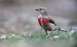 Linnet, Carduelis cannabina, Royalty Free Stock Images