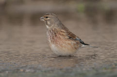 Linnet Carduelis cannabina Royalty Free Stock Images