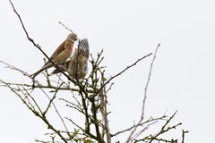 Linnet (Carduelis cannabina) Royalty Free Stock Photo