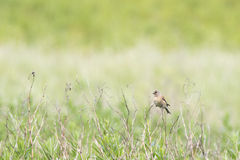 Linnet (Carduelis cannabina) Stock Photography