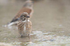 Linnet Carduelis cannabina series 01 Royalty Free Stock Images