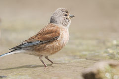 Linnet Carduelis cannabina series 04 Royalty Free Stock Photography