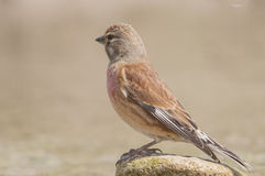 Linnet Carduelis cannabina series 06 Royalty Free Stock Photos