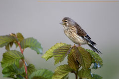 Linnet, Carduelis cannabina Royalty Free Stock Images