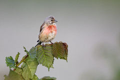 Linnet, Carduelis cannabina Stock Photography