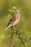 Linnet, Carduelis cannabina Royalty Free Stock Photo