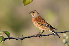Linnet, Carduelis cannabina Royalty Free Stock Photography