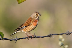 Linnet, Carduelis cannabina Stock Images