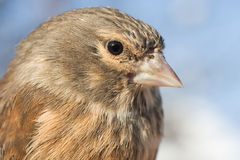 Linnet female portrait / Carduelis cannabina Royalty Free Stock Photo