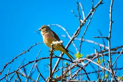 The linnet, a songbird of the finch family Royalty Free Stock Photography