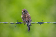 Linnet Stock Photos