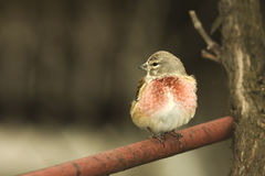 Linnet male (Carduelis cannabina) Stock Photos