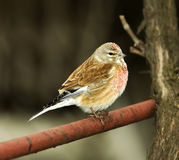 Linnet, male (Carduelis cannabina). In spring Royalty Free Stock Photo