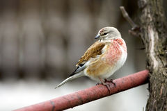 Linnet male (Carduelis cannabina). In spring Royalty Free Stock Image