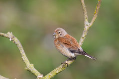 Linnet perched on branch Royalty Free Stock Image