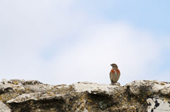 Linnet on rock Royalty Free Stock Images