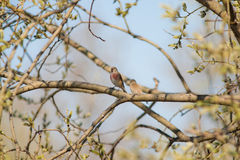 Linnet sings a spring song Royalty Free Stock Image