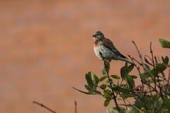 linnet Um pássaro pequeno com um peito vermelho Fotografia de Stock Royalty Free