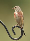 Linnet. Royalty Free Stock Image