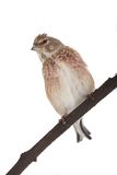 Linnet Royalty Free Stock Image