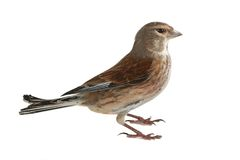 Linnet Royalty Free Stock Images