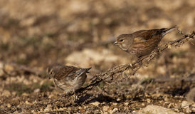 Linnets (Carduelis cannabina). Pair of linnets eating seeds royalty free stock photos