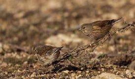 Linnets (Carduelis cannabina). Pair of linnets eating seeds Royalty Free Stock Photos