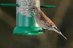 Linnit  bird. Stock Images